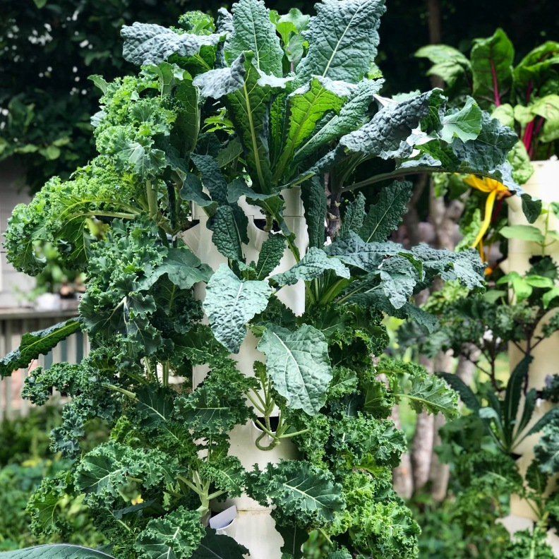 Kale Growing on Hydroponic Tower Garden