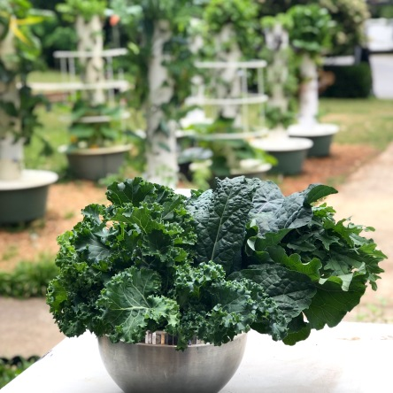 Harvested Kale from Hydroponic Aeroponic Tower Garden